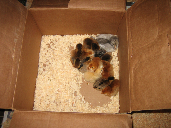 baby chicks in the  box they road home in