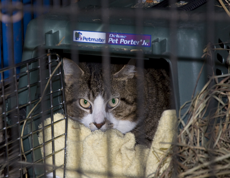 tabby cat in a crate