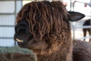borwn alpaca head