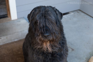 Bouvier des Flandres head shot