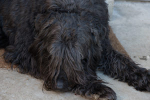 napping Bouvier des Flandres